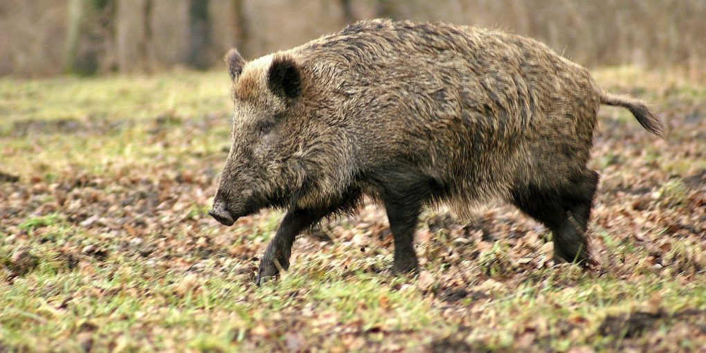 hog hunting tips