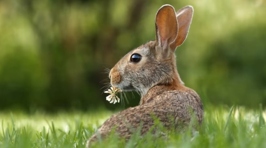 Cottontail Rabbit Can You Legally Hunt In USA