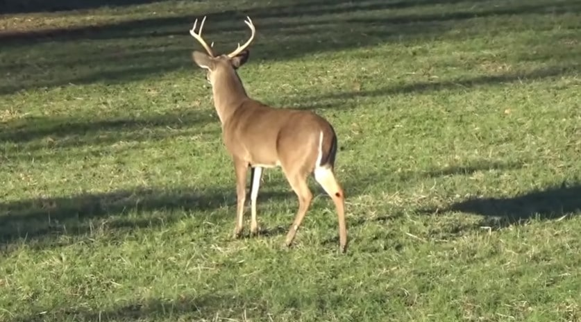 White-tailed deer Can You Legally Hunt In USA