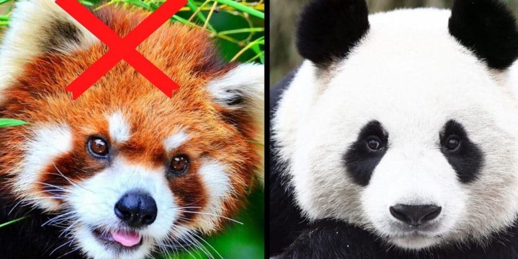 Why Red Panda Hunting is illegal