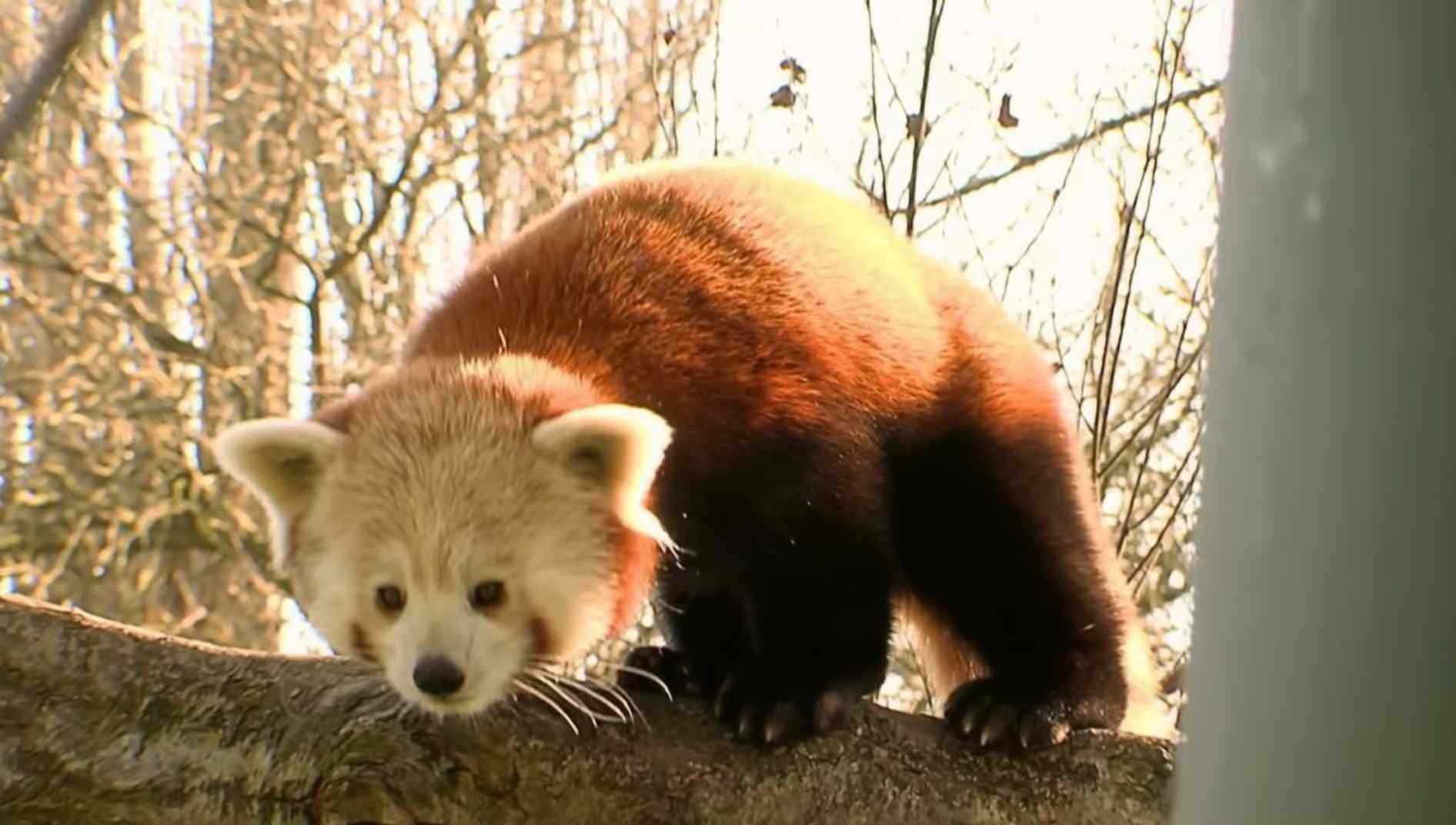 Unknown Facts about Red Pandas