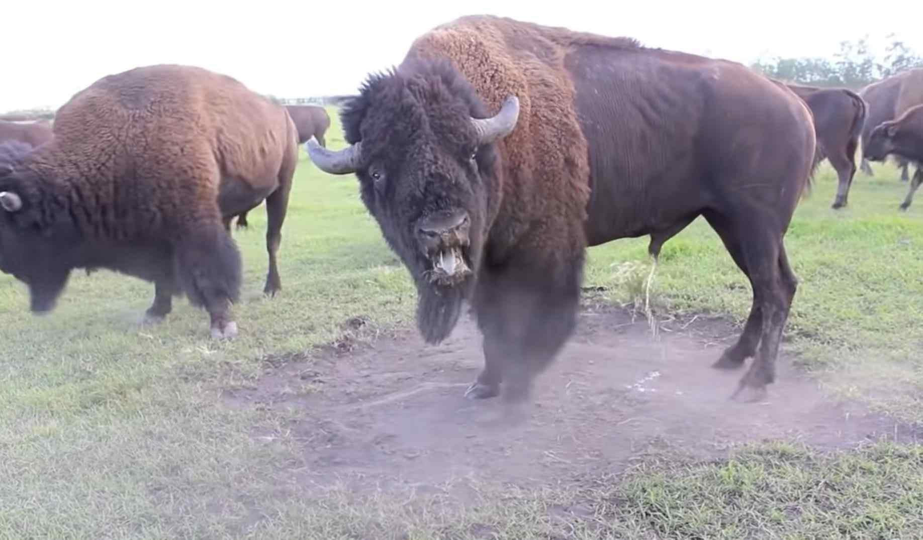 Bison Season