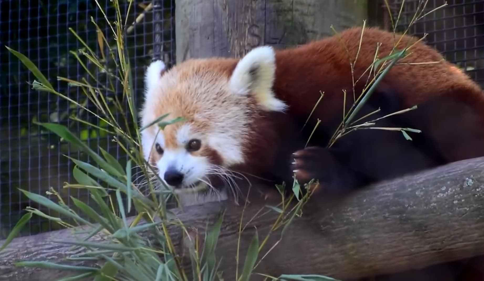 Characteristics and Nature of Red Panda