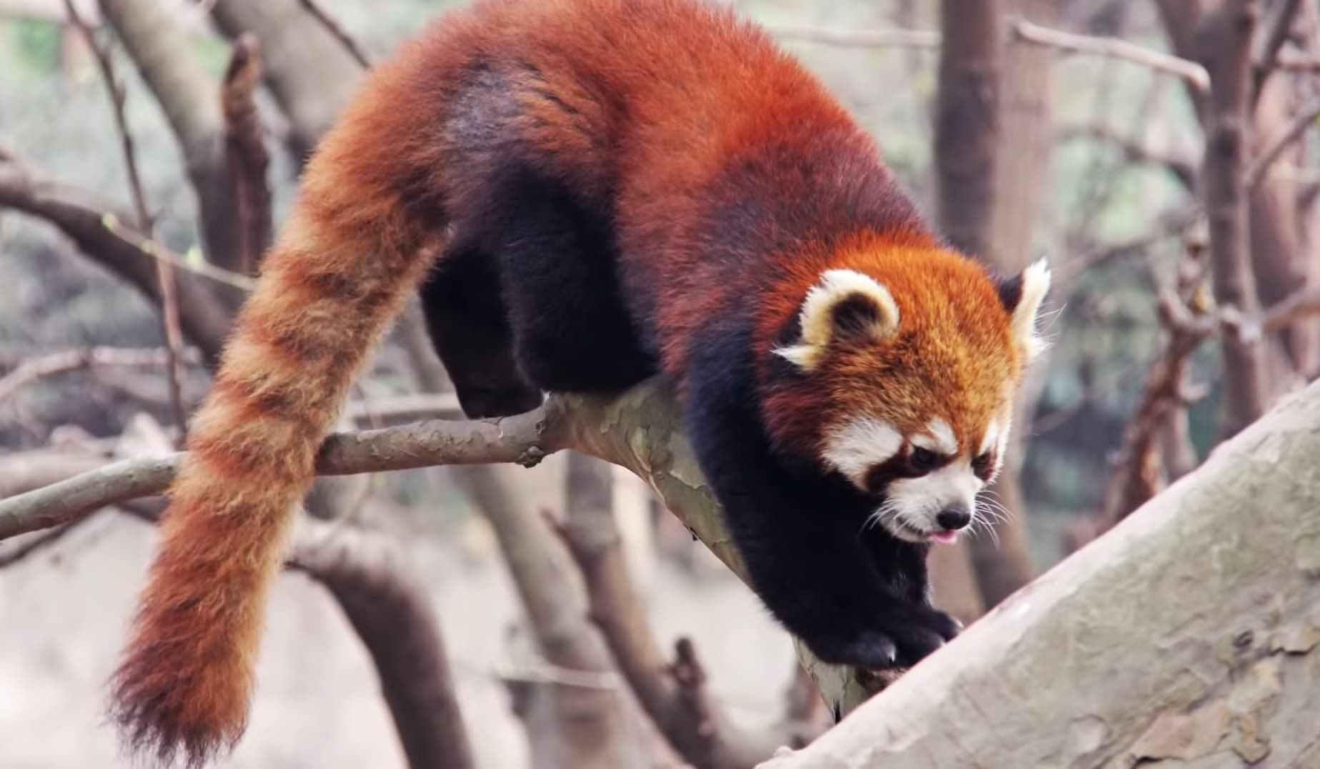 homeland of the Red Panda