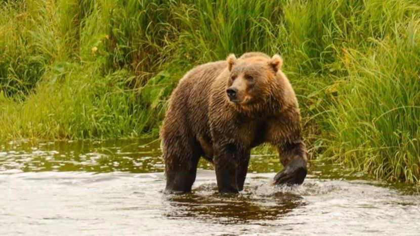 Grizzly bear Can You Legally Hunt In USA